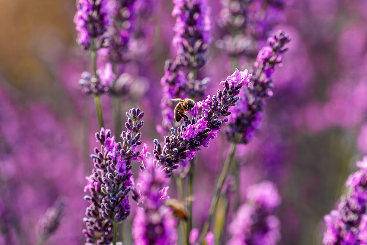 Bee in the lavender fields in Provence, France