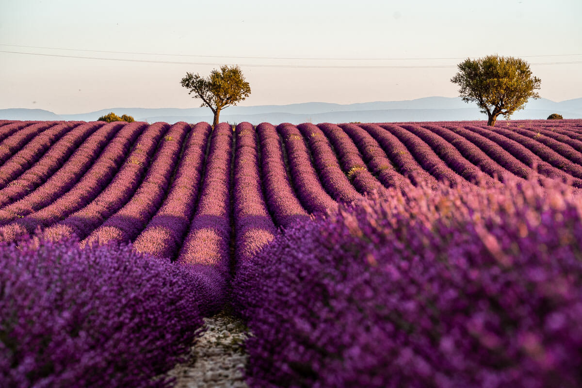 Lavender fields in Provence with the heart shaped tree