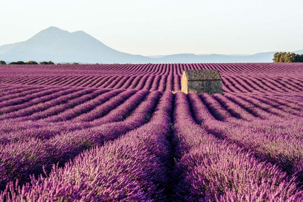 Lavender fields in Provence, France