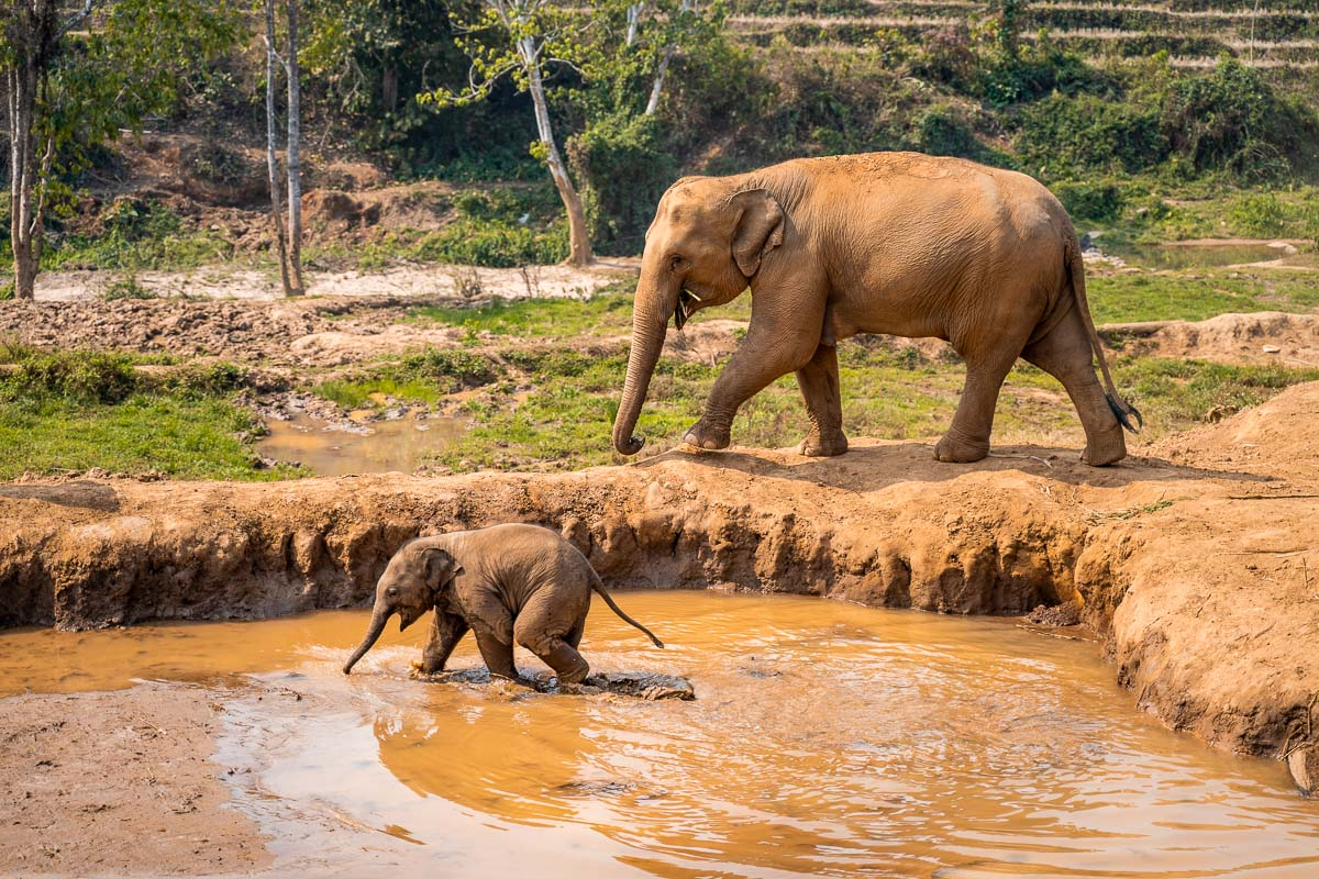 Adult elephant walking with baby elephant in the water at Elephant Jungle Sanctuary Chiang Mai