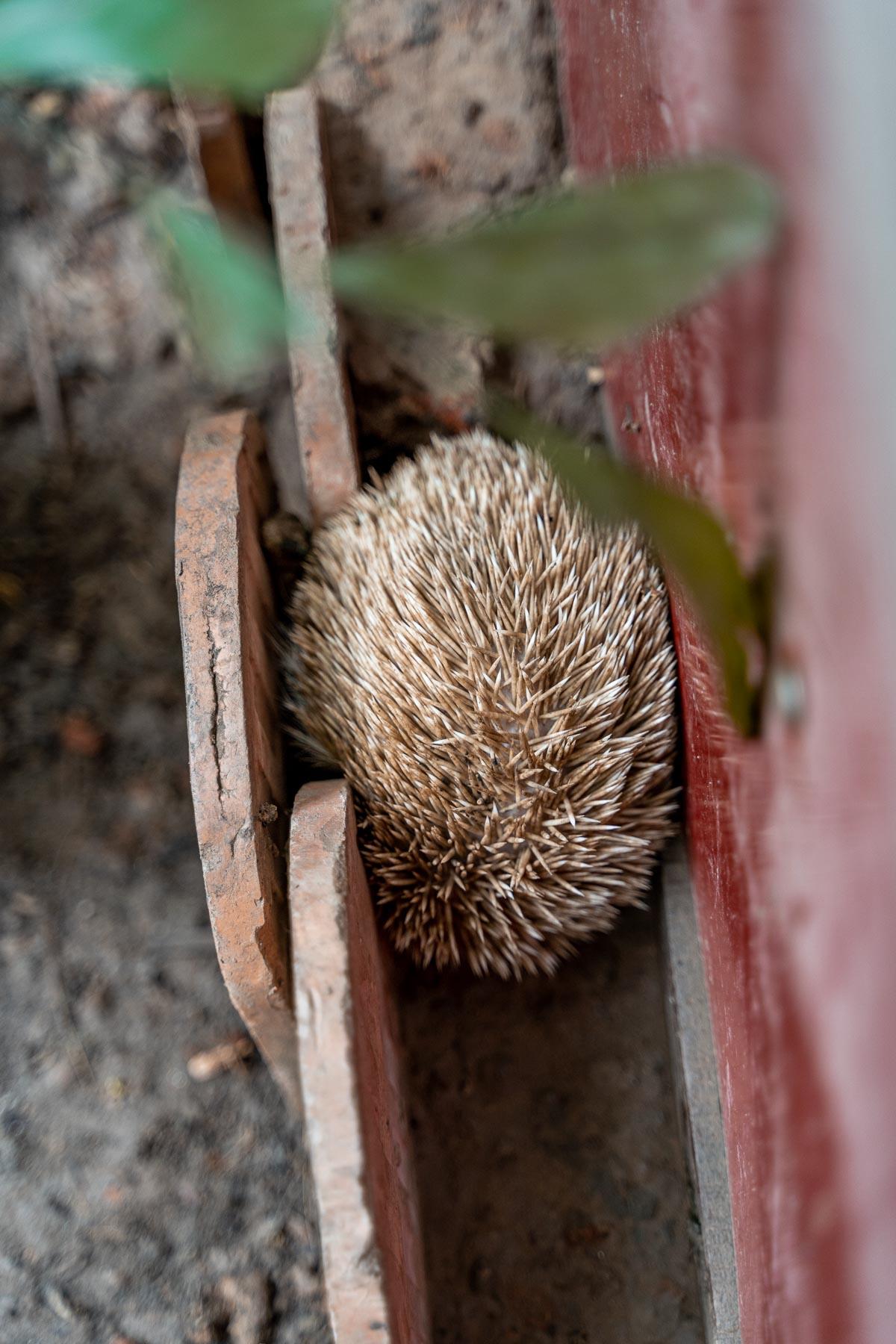 Hedgehog at at Pavilion Phnom Penh
